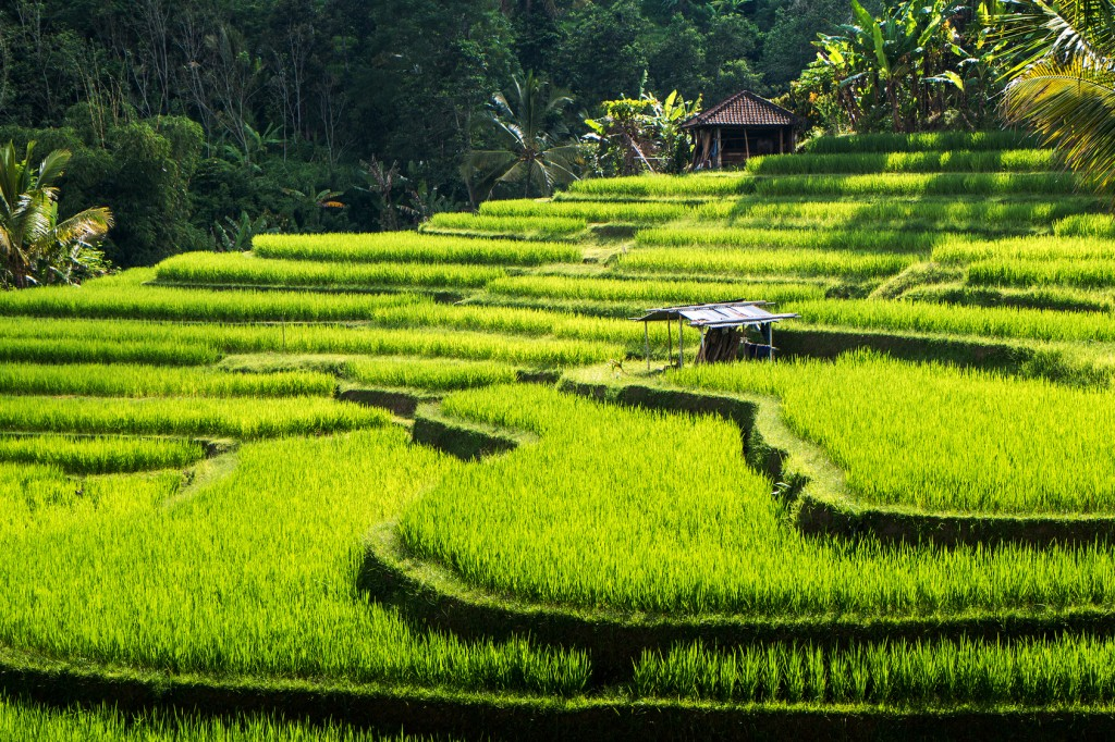 Rice terraces of Bali Island,Jatiluwih, near Ubud, Indonesia. Asia
