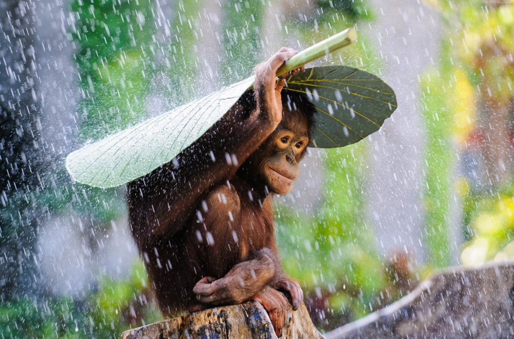 orangutan-4023x2656-bali-rain-monkey-2015-sony-world-photography-6150-1