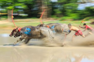 motion blurred of buffalo competition in dirt track