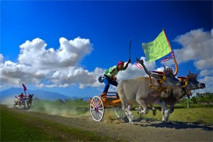 cow racing event in bali